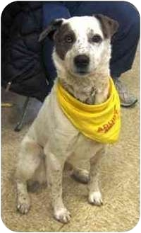 Australian Shepherd Mix Dog for adoption in Lubbock, Texas - Bazooka