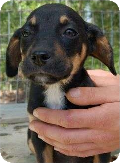Dachshund/Jack Russell Terrier Mix Puppy for adoption in Windham, New Hampshire - Bob