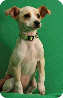 Chihuahua Mix Puppy for adoption in Broomfield, Colorado - SavannahSMILES