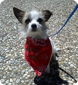 Chihuahua/Maltese Mix Dog for adoption in College Station, Texas - Macaroon (Mac)