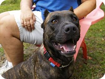 Pit Bull Terrier Mix Dog for adoption in Brooksville, Florida - Gucci