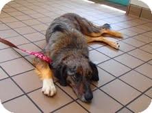 Anatolian Shepherd/Collie Mix Dog for adoption in North Wilkesboro, North Carolina - Gemma
