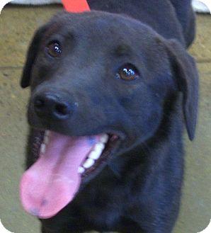 Labrador Retriever Mix Dog for adoption in Coal City, West Virginia - Serinity