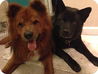 Chow Chow/Retriever (Unknown Type) Mix Dog for adoption in Sacramento, California - Monty