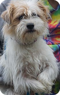 Shih Tzu/Terrier (Unknown Type, Small) Mix Dog for adoption in Newark, Delaware - Trixie