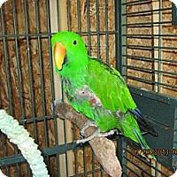 Adopt A Pet :: Paddy - Burleson, TX