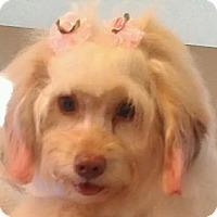 Adopt A Pet :: Moppet - NON SHED hav pup - Phoenix, AZ