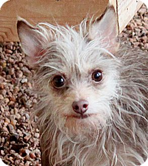 Chihuahua/Yorkie, Yorkshire Terrier Mix Dog for adoption in Wichita Falls, Texas - Zahra