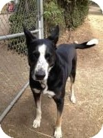 Great Dane/Border Collie Mix Dog for adoption in North Hollywood, California - Zeus