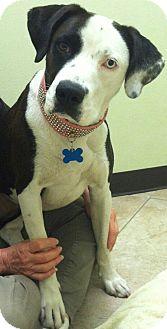 Australian Shepherd/Pointer Mix Dog for adoption in West Los Angeles, California - Sophia
