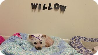 Maltese Dog for adoption in Muskegon, Michigan - Willow