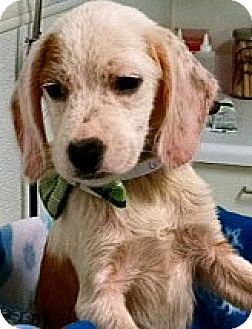 Beagle Mix Puppy for adoption in Boulder, Colorado - Hershey