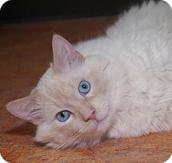 Ragdoll Cat for adoption in Oakland, California - Chazz