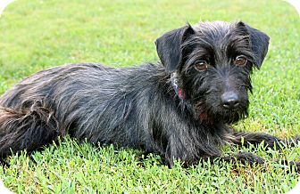 Terrier (Unknown Type, Small) Mix Dog for adoption in Salem, New Hampshire - GARFINKLE