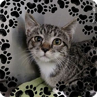 Domestic Shorthair Kitten for adoption in Pueblo West, Colorado - snow white