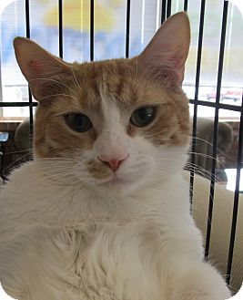 Domestic Shorthair Cat for adoption in Oakland, Oregon - Marco