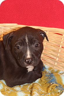 Labrador Retriever/Retriever (Unknown Type) Mix Puppy for adoption in Waldorf, Maryland - Capri