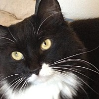 Domestic Mediumhair Cat for adoption in Lancaster, California - Zumi