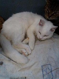 Domestic Mediumhair Cat for adoption in Live Oak, Florida - Pee Wee