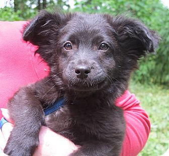 Pomeranian/Terrier (Unknown Type, Small) Mix Puppy for adoption in Allentown, Pennsylvania - Mowgli