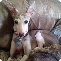 Adopt A Pet :: Gracie in DFW area - Argyle, TX