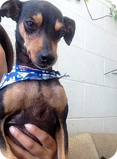 Miniature Pinscher Mix Dog for adoption in Los Angeles, California - Cheeky