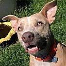 Adopt A Pet :: CJ - Denton, TX