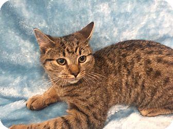 Domestic Shorthair Kitten for adoption in Highland Park, New Jersey - Zena