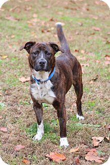 Labrador Retriever/Boxer Mix Dog for adoption in Prince Frederick, Maryland - Daisy