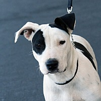 Adopt A Pet :: Savannah - Palmdale, CA