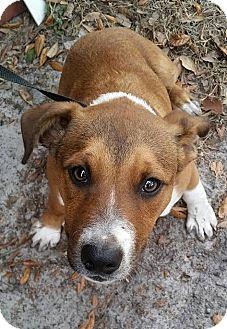 Collie/Hound (Unknown Type) Mix Puppy for adoption in Gainesville, Florida - Harlo