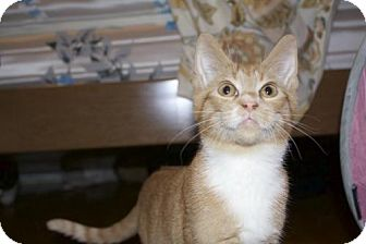 Domestic Shorthair Cat for adoption in Ellicott City, Maryland - .Tumeric