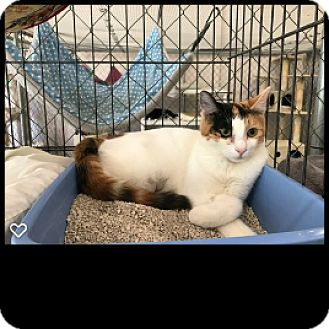 Calico Kitten for adoption in Fallbrook, California - Christina