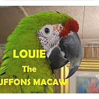 Adopt A Pet :: Louie The Buffon's Macaw - Vancouver, WA