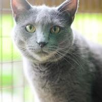 Russian Blue/Domestic Shorthair Mix Cat for adoption in New Freedom, Pennsylvania - Owl