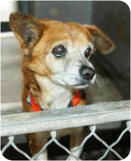 Chihuahua Mix Dog for adoption in Marina del Rey, California - Wee Willy