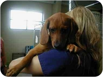Basset Hound/Redbone Coonhound Mix Puppy for adoption in Cincinnati, Ohio - Steimy