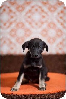 Australian Shepherd/German Shepherd Dog Mix Puppy for adoption in Portland, Oregon - Geoffrey