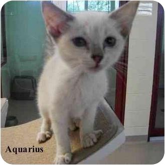 Siamese Kitten for adoption in Slidell, Louisiana - Aquarius