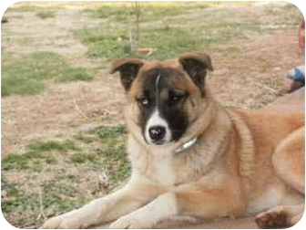 German Shepherd Dog/Husky Mix Puppy for adoption in Ardmore, Tennessee - Harlie