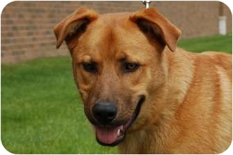 Labrador Retriever/Chow Chow Mix Dog for adoption in Northville, Michigan - Presley - Video