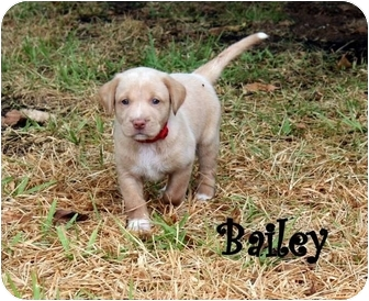 Labrador Retriever Puppy for adoption in White Settlement, Texas - Bailey