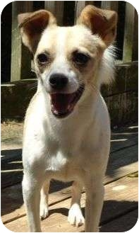 Chihuahua/Beagle Mix Dog for adoption in Plainfield, Connecticut - Bailey