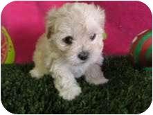 Bichon Frise Mix Puppy for adoption in La Costa, California - Molly