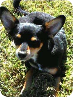 Rat Terrier/Chihuahua Mix Puppy for adoption in Patterson, California - Trip