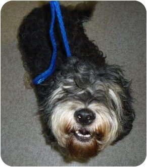 Cocker Spaniel/Schnauzer (Miniature) Mix Dog for adoption in Sacramento, California - Skippy and Purrty!