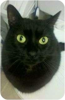 Domestic Shorthair Cat for adoption in Schertz, Texas - Zappa