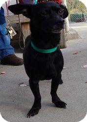Dachshund/Pug Mix Dog for adoption in Harrisonburg, Virginia - Amigo (URGENT)