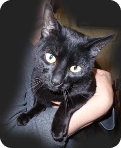 American Shorthair Cat for adoption in Loudonville, New York - Fidgit