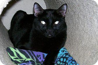 Domestic Shorthair Cat for adoption in Scottsdale, Arizona - Carelton